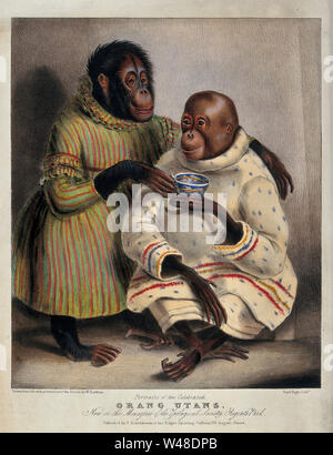 Two orang-utans wearing clothes and drinking tea. Coloured lithograph by Day & Haghe after W Hawkins. - Stock Photo