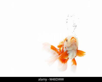 Goldfish swimming on white background ,Gold fish with bubble,Decorative aquarium fish,Gold fish. Isolation on the white - Stock Photo
