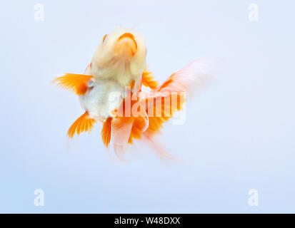 Goldfish swimming on white background ,Gold fish,Decorative aquarium fish,Gold fish. Isolation on the white - Stock Photo