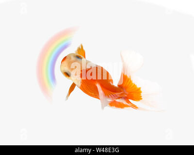 Goldfish swimming with rainbow on white background,Gold fish,Decorative aquarium fish,Gold fish. Isolation on the white - Stock Photo