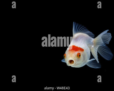 Goldfish swimming on black background ,Gold fish,Decorative aquarium fish,Gold fish. Isolation on the black. - Stock Photo