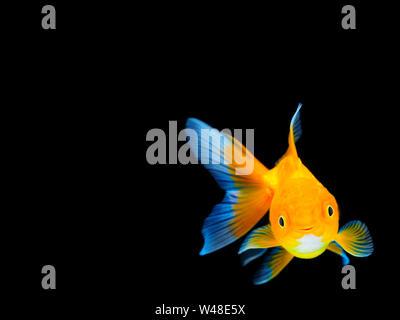 Smiling goldfish on black background,Goldfish swimming on black background ,Gold fish,Decorative aquarium fish,Gold fish. Isolation on the black. - Stock Photo