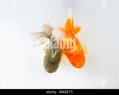 duo goldfish swimming on white background ,two gold fish,Decorative aquarium fish,Gold fish. Isolation on the white. - Stock Photo