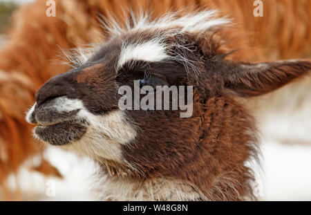 a young llama looks around outdoors for the first time - Stock Photo