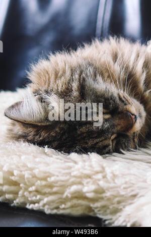 Tabby grey cat sleeping. Beautiful cat lying, taking a nap on white fluffy blanket. Cuteness, innocence concept. Tired animal. Animals sleep. - Stock Photo