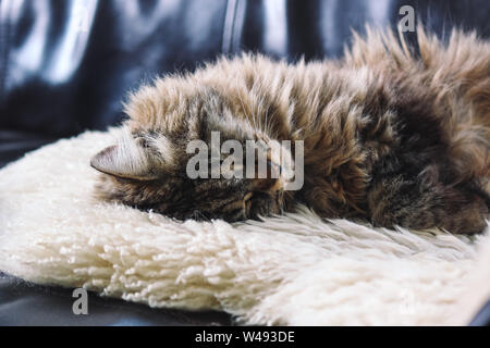 Beautiful cat sleeps. Tabby grey cat lying, taking a nap on white fluffy blanket. Cute, innocent pet. Concept, conceptual. Tired animals, sleeping animals. - Stock Photo