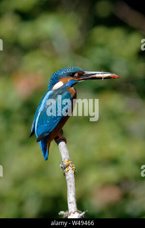 Common Kingfisher, Alcedo atthis, male bird on a perch above water with a Stickleback fish in its bill - Stock Photo