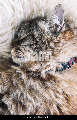 Cute tabby cat sleeps on white fluffy blanket. Black cat collar around neck. Persian cats. Taking a nap. Animals slepping. Amazing pet. Kitty. - Stock Photo