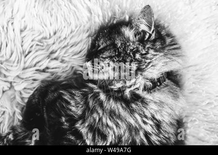 Black and white photography of sleeping tabby cat on white fluffy carpet. Black cat collar around neck. Persian cat. Taking a nap, animals sleep. Black and white photos. - Stock Photo