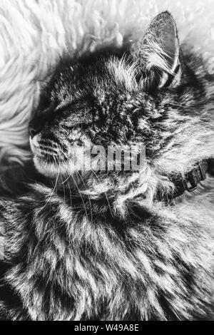 Black and white picture of sleeping tabby cat on white fluffy blanket. Black cat collar around neck. Persian cats. Taking a nap, animal sleep. Black and white photography. - Stock Photo