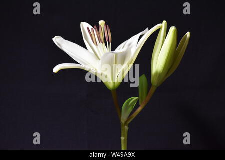 A white Lily and its bud isolated on black background. - Stock Photo