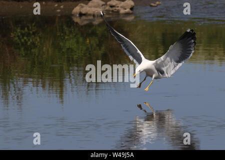 Lesser-black backed Gull - Stock Photo