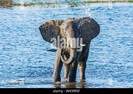 young elephant playing and spraying itself with water in the Chobe River, Botswana - Stock Photo