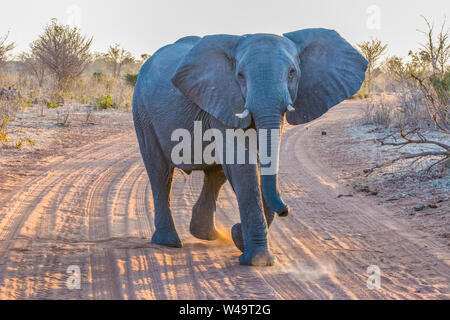 elephant head on with ears flapping out on a dusty, sandy road in Chobe national park Botswana - Stock Photo