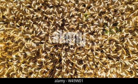 Bird view on golden wheat field and sunny day - Stock Photo
