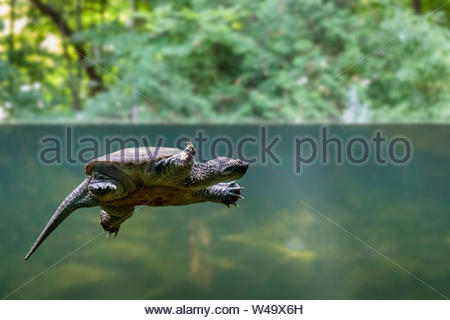Common snapping turtle Chelydre serpentina underwater at the Toronto Zoo Ontario Canada. - Stock Photo