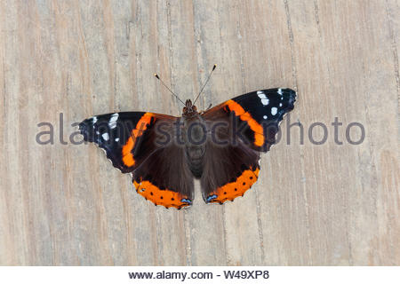 Red Admiral butterfly Vanessa atalanta dorsal view on dock in Toronto Ontario Canada. - Stock Photo