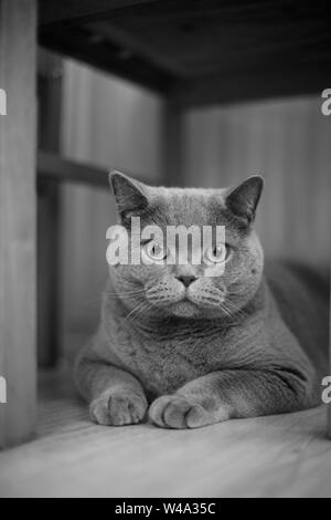 A gray cat sits on the floor under a table and chairs - Stock Photo