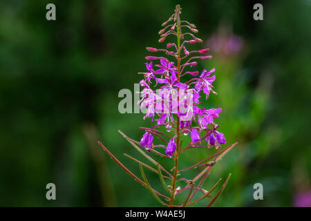 Bright pink flower Ivan tea with raindrops on a green background. - Stock Photo