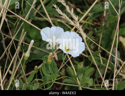 close up of Convolvulus arvensis or field bindweed flower blooming on meadow - Stock Photo