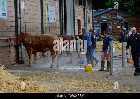 Builth Wells, Wales, UK. 21st July 2019. Farmers prepare their livestock for the show ring at the 100th Royal Welsh Show, which starts tomorrow. The event is the largest agricultural show in the UK and attracts around 200,000 people over 4 days. G.P. Essex/Alamy Live News - Stock Photo