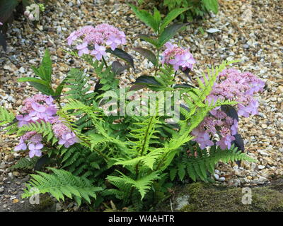 Close-up of planting in a rockery with green ferns and a lilac purple lace cap hydrangea serrata named 'Tiara'. - Stock Photo