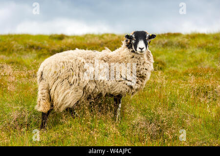 Swaledale Ewe stood in lush summer meadow in the Yorkshire Dales, England. Facing forward.  Swaledale sheep are native to this area in North Yorkshire - Stock Photo
