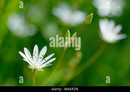 Lesser Stitchwort (stellaria graminea), close up of a single back-lit flower and bud with low depth of field. - Stock Photo