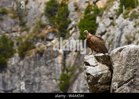 A griffon vulture (Gyps fulvus) perched on rock in a vulture feeder point in Chistau valley (Sobrarbe, Huesca, Pyrenees, Aragon, Spain) - Stock Photo