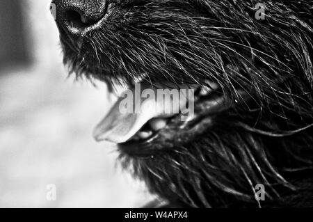 A black and white closeup shot of a dog with the mouth open - Stock Photo