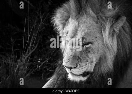 Old male lion with scars in black and white - Stock Photo