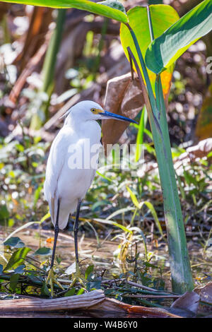 Snowy egret (Egretta thula) in Big Cypress National Preserve. Florida. USA - Stock Photo