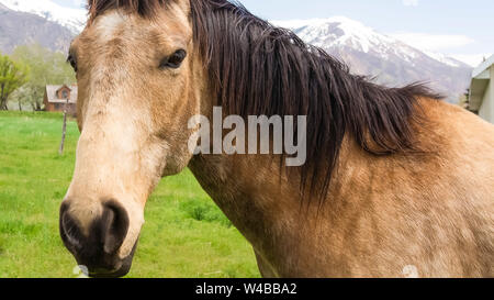 Panorama frame Close up of a brown horse with black mane beside a barbed wire fence. Vast field and snow peaked mountain under cloudy sky can be seen - Stock Photo