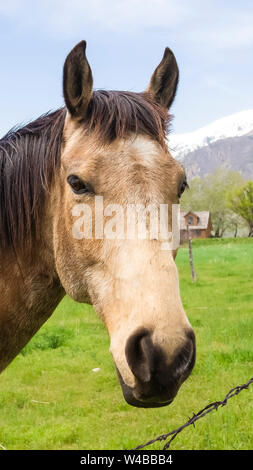 Vertical tall Close up of a brown horse with black mane beside a barbed wire fence. Vast field and snow peaked mountain under cloudy sky can be seen i - Stock Photo