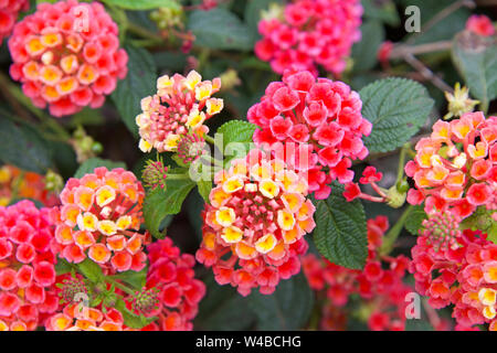 Close up on Lantana flowers, vibrant magenta pink orange and yellow. They are native to tropical regions of the Americas and Africa but exist as an in - Stock Photo