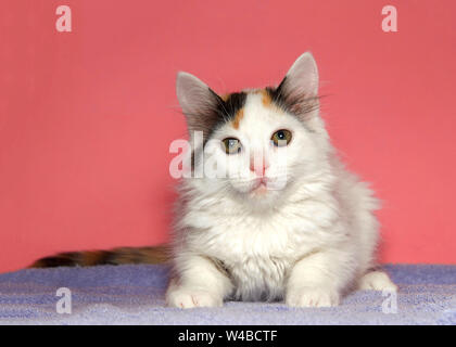 Portrait of an adorable white and calico kitten laying on a purple blanket looking directly at viewer, vibrant pink background with copy space. - Stock Photo
