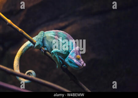 Colorful chameleon turquoise and purple color sleeping on a branch. Reptile lizard on black background. Zoo terrarium. - Stock Photo