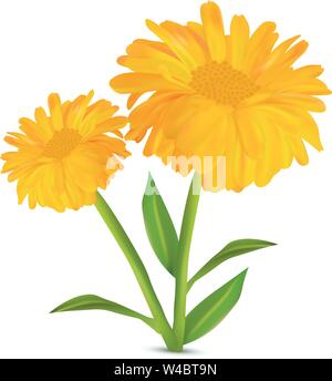 3d realistic calendula with green leaf on white background. Marigold flowers. Vector illustrator. Calendula close up. - Stock Photo