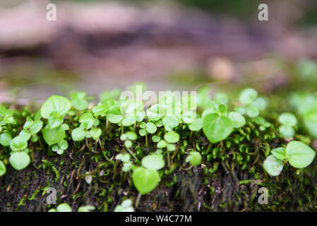 little plant young sprout growing on green moss in the rainforest nature , close up - Stock Photo