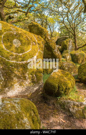 Sessile oaks and moss in Wistman's Wood Dartmoor Devon England UK GB British Isles - Stock Photo