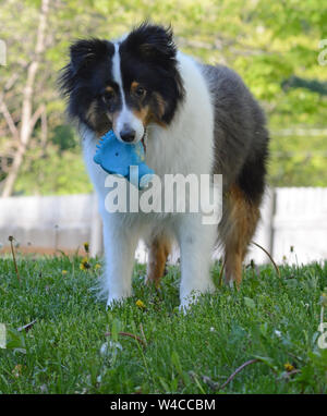 A Shetland Sheepdog (sheltie) learns to fetch with a favorite toy. Family pet. Obedience training. - Stock Photo