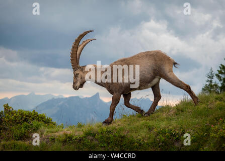 Walking Alpine Ibex at Niederhorn - Stock Photo