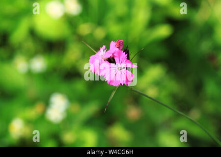 Pink wild Dianthus carthusianorum flower growing in garden. Summer flower - Stock Photo