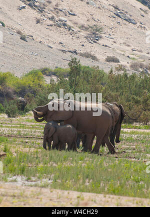Desert-adapted elephants. These African elephants (Loxodonta africana) are adapted to living in desert areas of Namibia and Angola. Photographed in th - Stock Photo