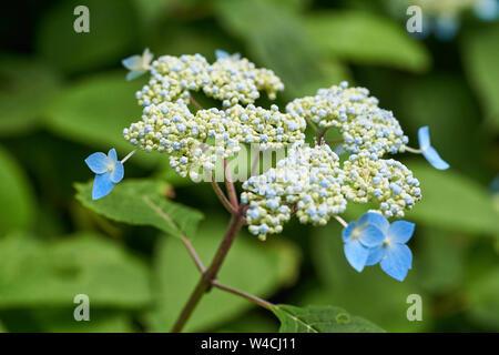 Light blue mountain hydrangeas (Hydrangea serrata) grow in the rainy summer of rural, mountainous, Japan. - Stock Photo