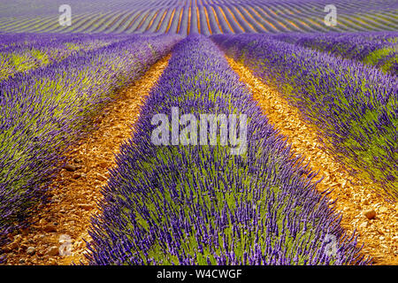 Panoramic view of lavender fields, in the Montagnac region. Provence-Alpes-Cote d'Azur, France.
