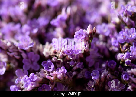 sea lavender, Limonium - Stock Photo