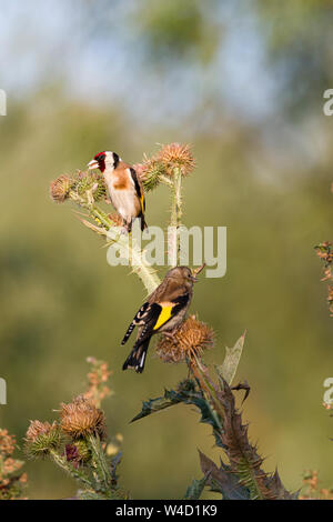 Golden finches Goldfinches feeding on teasels in Romania - Stock Photo