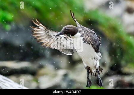 Common guillemot in flight - Stock Photo