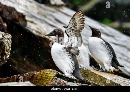 Common guillemot is preparing for the first filight. - Stock Photo
